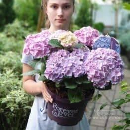 Гортензія крупнолистная Форевер Евер Блю (Hydrangea macrophylla Forever & Ever Blue) ФОТО Розплідник рослин Природа (9)
