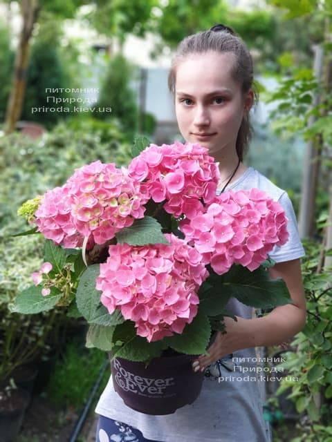 Гортензия крупнолистная Форевер Эвер Рэд (Hydrangea macrophylla Forever & Ever Red) ФОТО Питомник растений Природа (17)