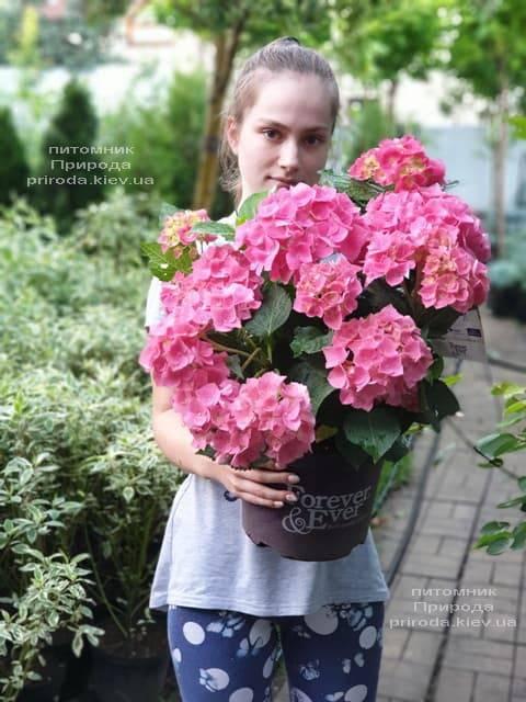 Гортензія крупнолистная Форевер Евер Ред (Hydrangea macrophylla Forever & Ever Red) ФОТО Розплідник рослин Природа (18)
