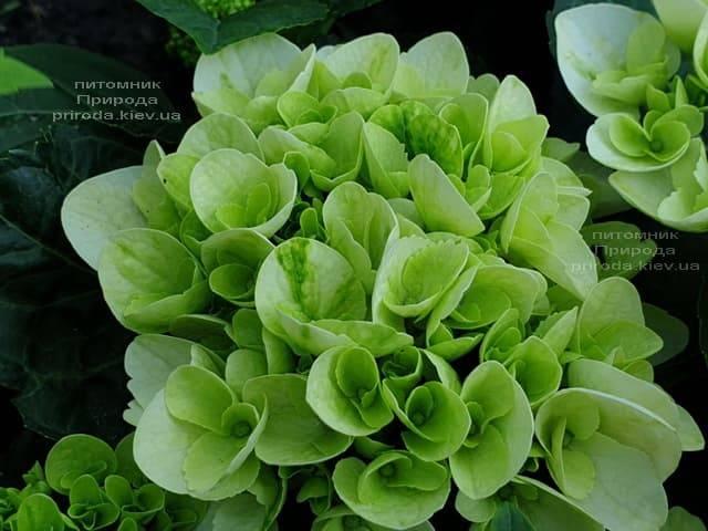 Гортензия крупнолистная Форевер Эвер Вайт (Hydrangea macrophylla Forever & Ever White) ФОТО Питомник растений Природа (1)