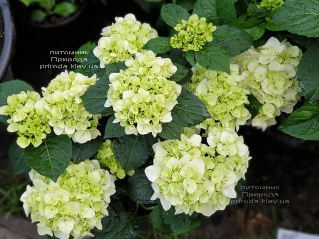 Гортензия крупнолистная Форевер Эвер Вайт (Hydrangea macrophylla Forever & Ever White) ФОТО Питомник растений Природа (13)