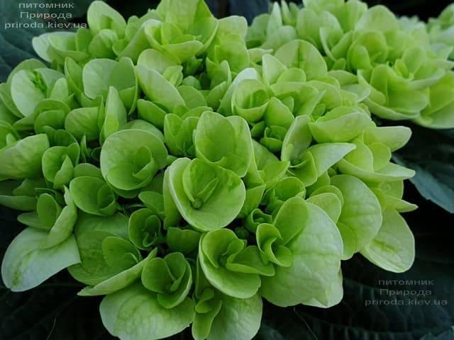 Гортензия крупнолистная Форевер Эвер Вайт (Hydrangea macrophylla Forever & Ever White) ФОТО Питомник растений Природа (2)