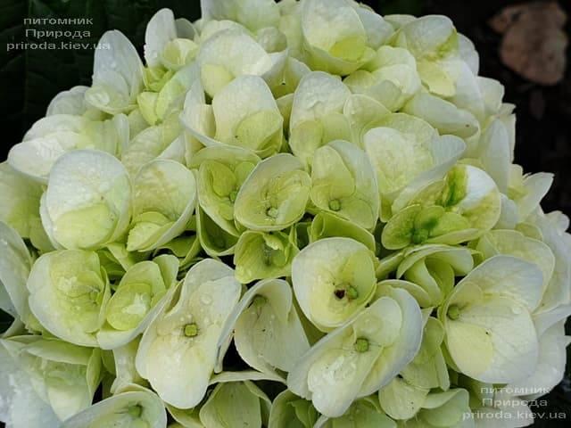 Гортензия крупнолистная Форевер Эвер Вайт (Hydrangea macrophylla Forever & Ever White) ФОТО Питомник растений Природа (3)