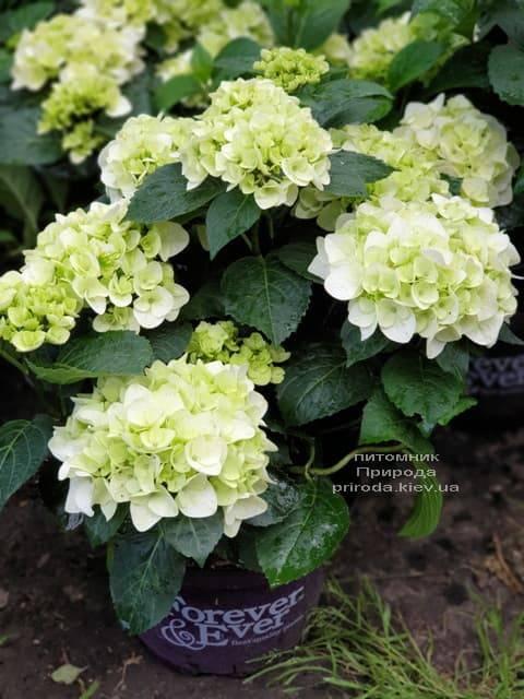 Гортензия крупнолистная Форевер Эвер Вайт (Hydrangea macrophylla Forever & Ever White) ФОТО Питомник растений Природа (4)