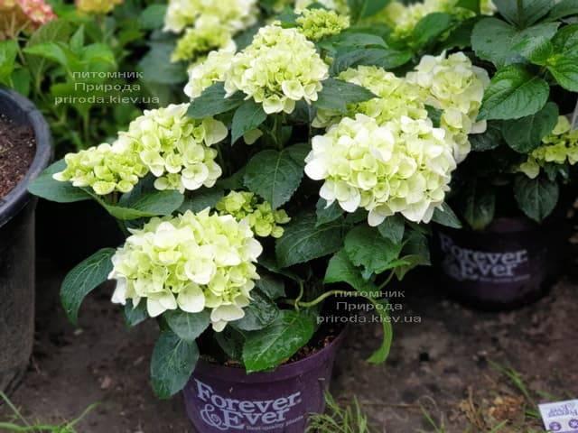 Гортензия крупнолистная Форевер Эвер Вайт (Hydrangea macrophylla Forever & Ever White) ФОТО Питомник растений Природа (5)
