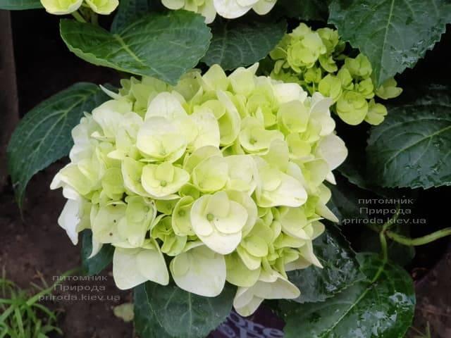 Гортензия крупнолистная Форевер Эвер Вайт (Hydrangea macrophylla Forever & Ever White) ФОТО Питомник растений Природа (6)