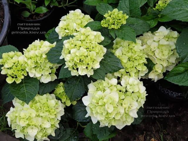 Гортензия крупнолистная Форевер Эвер Вайт (Hydrangea macrophylla Forever & Ever White) ФОТО Питомник растений Природа (7)