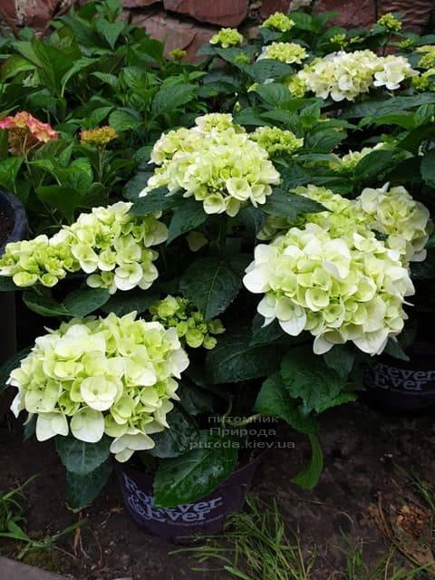 Гортензия крупнолистная Форевер Эвер Вайт (Hydrangea macrophylla Forever & Ever White) ФОТО Питомник растений Природа (8)