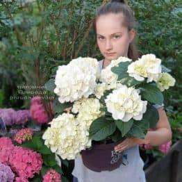 Гортензія крупнолистная Форевер Евер Вайт (Hydrangea macrophylla Forever & Ever White) ФОТО Розплідник рослин Природа