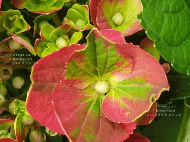 Гортензия крупнолистная Хот Рэд (Hydrangea macrophylla Hot Red) ФОТО Питомник растений Природа (2)