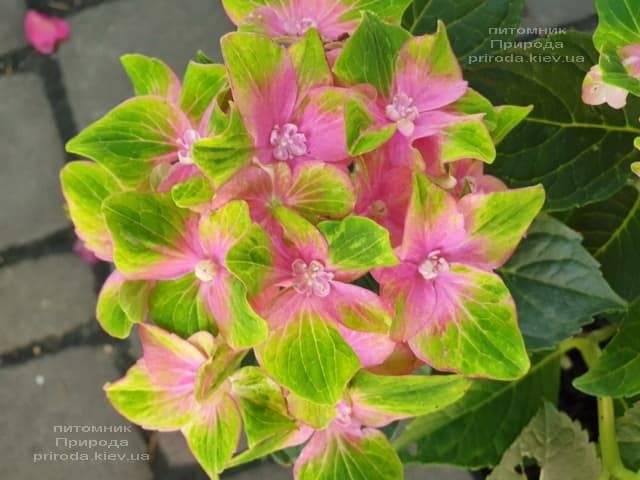 Гортензия крупнолистная Шлосс Вакербарт (Hydrangea macrophylla Schloss Wackerbarth) ФОТО Питомник растений Природа (10)