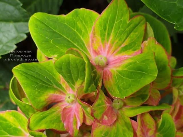 Гортензия крупнолистная Шлосс Вакербарт (Hydrangea macrophylla Schloss Wackerbarth) ФОТО Питомник растений Природа (2)