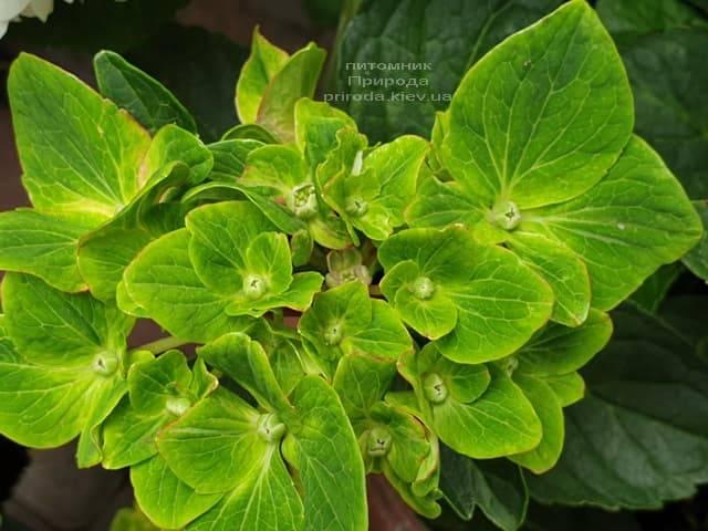 Гортензия крупнолистная Шлосс Вакербарт (Hydrangea macrophylla Schloss Wackerbarth) ФОТО Питомник растений Природа (4)