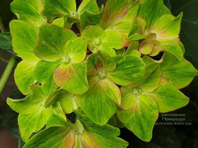 Гортензия крупнолистная Шлосс Вакербарт (Hydrangea macrophylla Schloss Wackerbarth) ФОТО Питомник растений Природа (5)