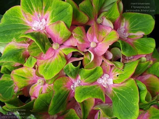 Гортензия крупнолистная Шлосс Вакербарт (Hydrangea macrophylla Schloss Wackerbarth) ФОТО Питомник растений Природа (6)
