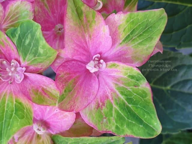 Гортензия крупнолистная Шлосс Вакербарт (Hydrangea macrophylla Schloss Wackerbarth) ФОТО Питомник растений Природа (9)