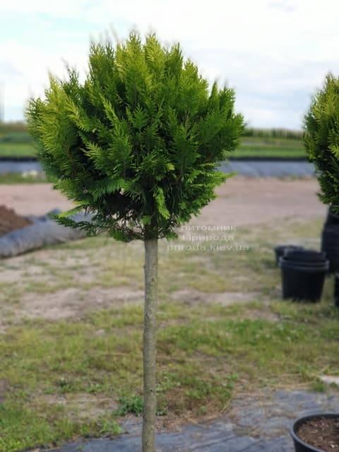 Кипарисовик Лавсона Івонне на штамбі (Chamaecyparis lawsoniana Ivonne) ФОТО Розплідник рослин Природа (1)