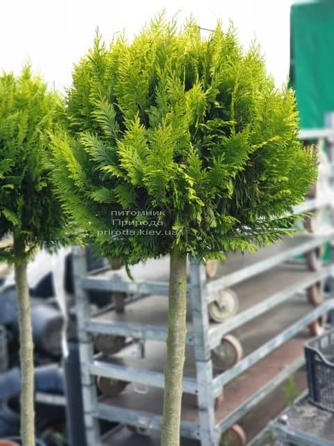 Кипарисовик Лавсона Івонне на штамбі (Chamaecyparis lawsoniana Ivonne) ФОТО Розплідник рослин Природа (3)