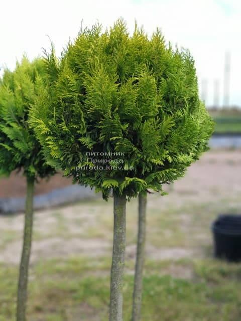 Кипарисовик Лавсона Івонне на штамбі (Chamaecyparis lawsoniana Ivonne) ФОТО Розплідник рослин Природа (4)