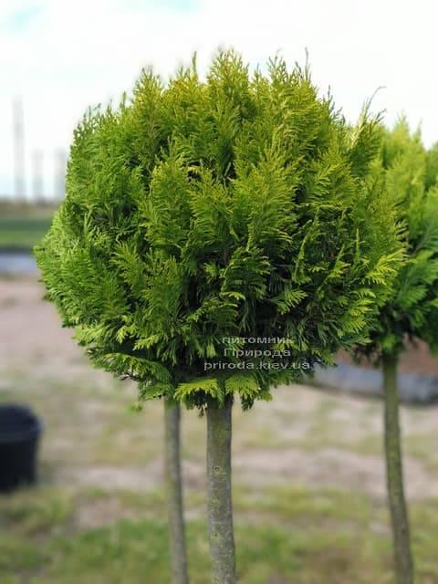 Кипарисовик Лавсона Ивонне на штамбе (Chamaecyparis lawsoniana Ivonne) ФОТО Питомник растений Природа (5)