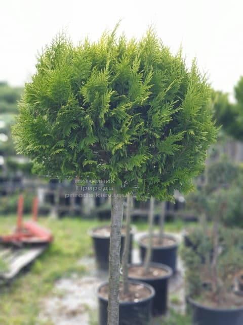 Кипарисовик Лавсона Івонне на штамбі (Chamaecyparis lawsoniana Ivonne) ФОТО Розплідник рослин Природа (6)