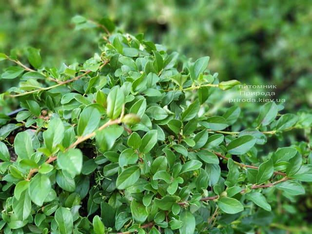 Кизильник Даммера Майор (Cotoneaster dammeri Major) ФОТО Питомник растений Природа (1)