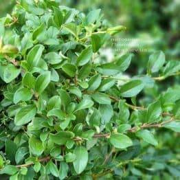 Кизильник Даммера Майор (Cotoneaster dammeri Major) ФОТО Розплідник рослин Природа (2)