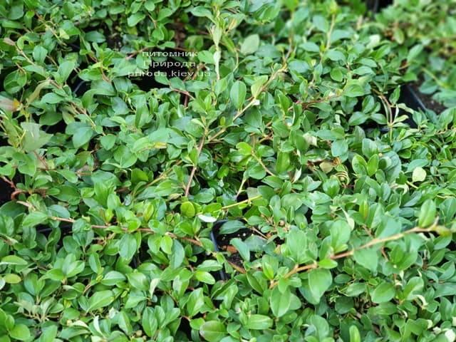 Кизильник Даммера Майор (Cotoneaster dammeri Major) ФОТО Питомник растений Природа (4)