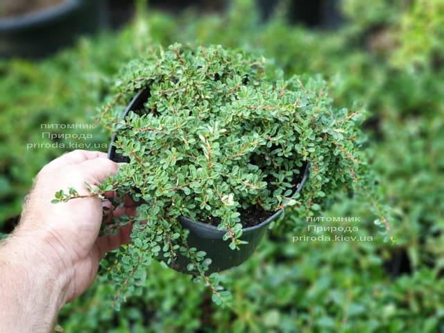 Кизильник приплюснутый Мирель (Cotoneaster congestus Mirelle) ФОТО Питомник растений Природа (1)