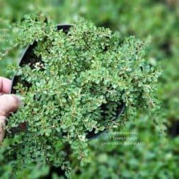 Кизильник приплюснутый Мирель (Cotoneaster congestus Mirelle) ФОТО Питомник растений Природа (2)