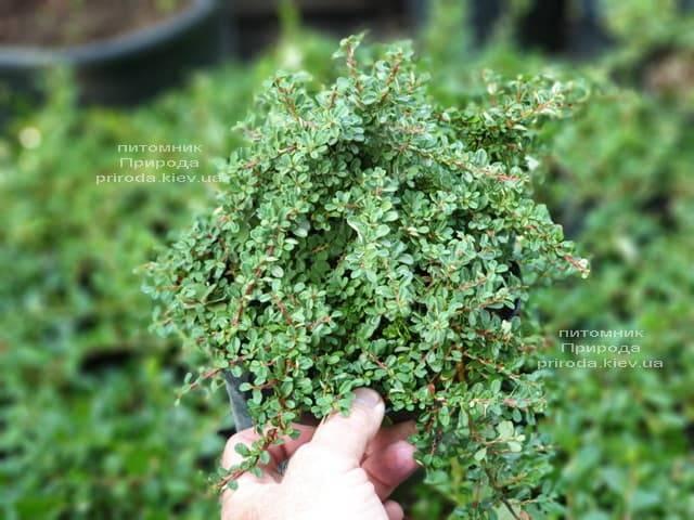 Кизильник приплюснутый Мирель (Cotoneaster congestus Mirelle) ФОТО Питомник растений Природа (3)