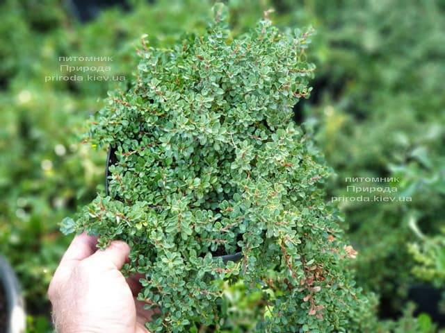 Кизильник приплюснутый Мирель (Cotoneaster congestus Mirelle) ФОТО Питомник растений Природа (5)