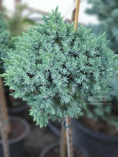 Можжевельник чешуйчатый Блю Стар на штамбе ФОТО Питомник растений Природа (1)