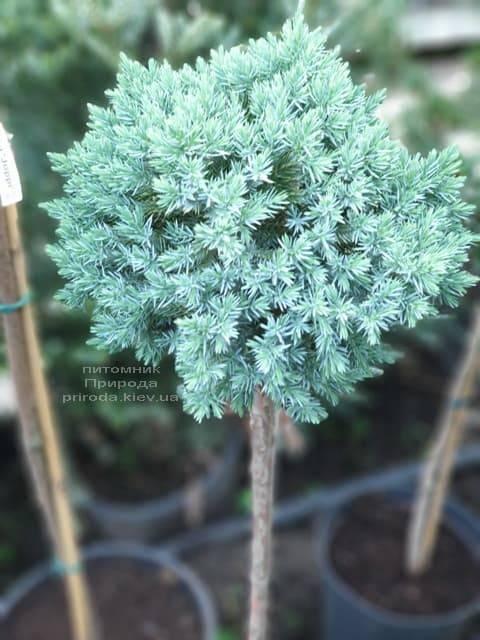Можжевельник чешуйчатый Блю Стар на штамбе ФОТО Питомник растений Природа (2)