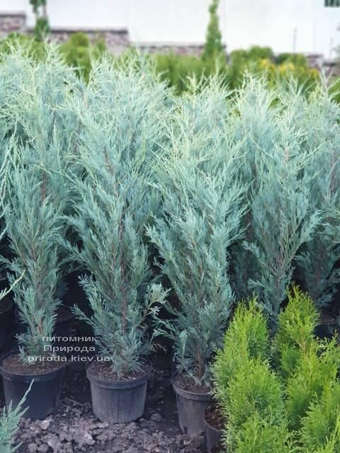 Можжевельник скальный Мунглов (Juniperus scopolorum Moonglow) ФОТО Питомник растений Природа (11)
