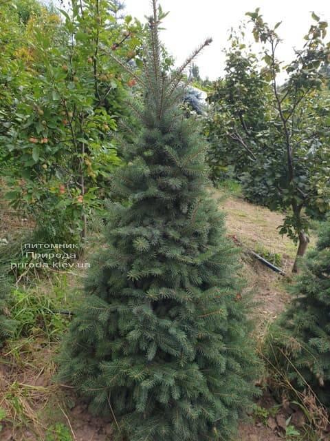 Пихта бальзамическая (Abies balsamea) ФОТО Питомник растений Природа (1)