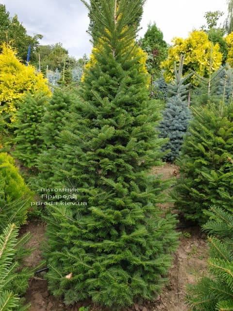 Пихта бальзамическая (Abies balsamea) ФОТО Питомник растений Природа (5)
