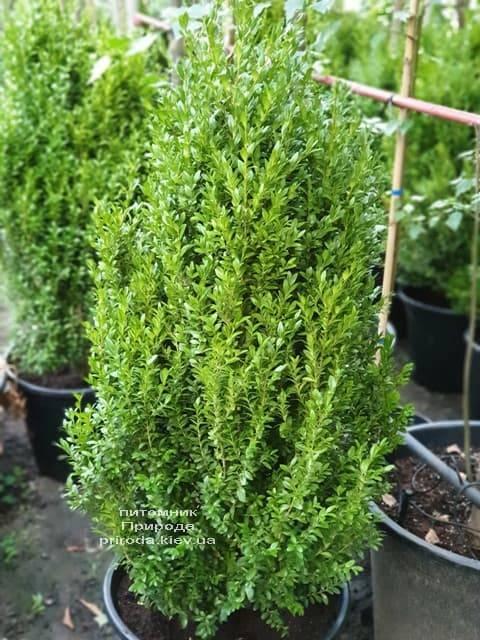 Самшит вечнозелёный (Buxus sempervirens) ФОТО Питомник растений Природа (9)