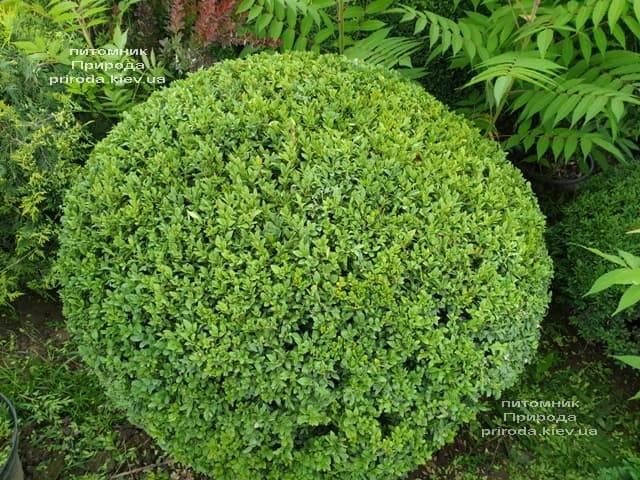 Самшит вечнозелёный Шар (Buxus sempervirens Boll) ФОТО Питомник растений Природа (18)