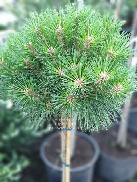Сосна чорна Брепо (Pinus nigra Brepo) на штамбі ФОТО Розплідник рослин Природа (1)