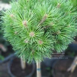 Сосна чёрная Брепо (Pinus nigra Brepo) на штамбе ФОТО Питомник растений Природа (2)