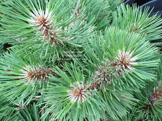 Сосна Хельга (Pinus nigra Helga) ФОТО Розплідник рослин Природа (1)