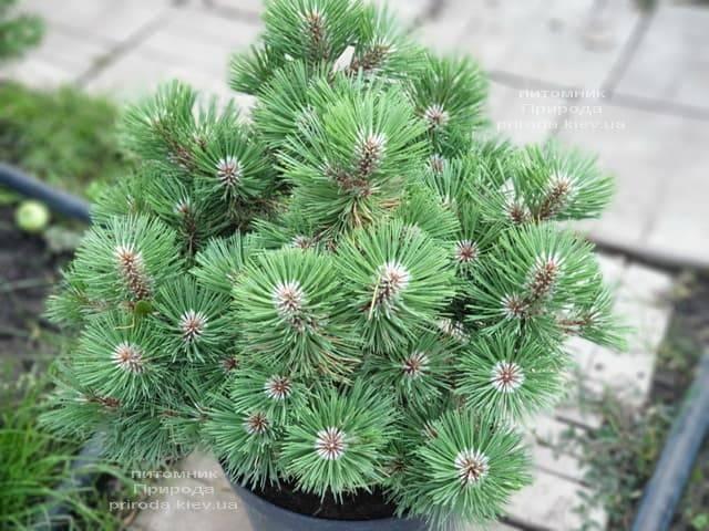 Сосна Хельга (Pinus nigra Helga) ФОТО Розплідник рослин Природа (2)