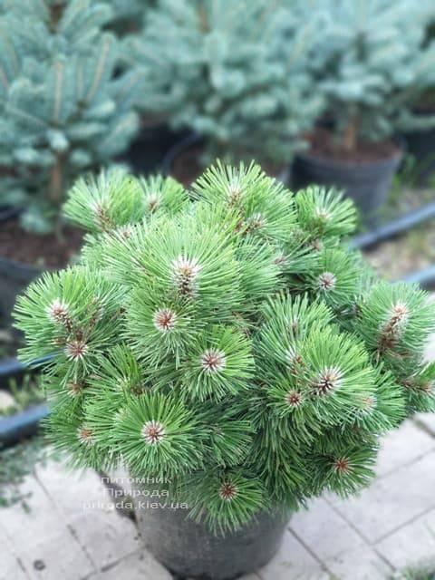 Сосна Хельга (Pinus nigra Helga) ФОТО Розплідник рослин Природа (4)