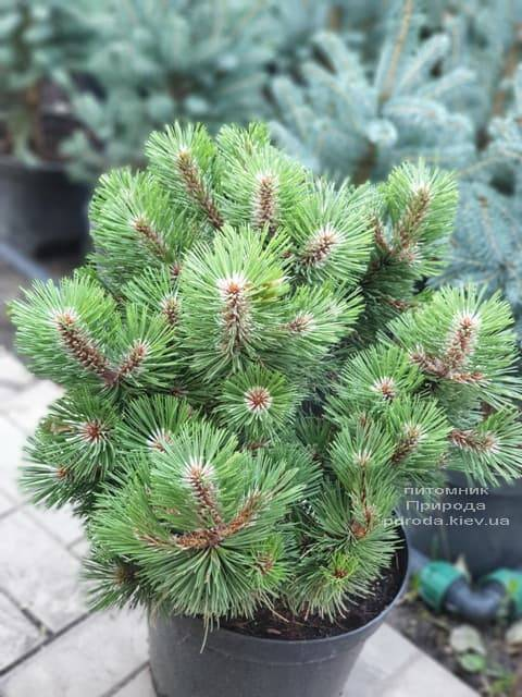 Сосна Хельга (Pinus nigra Helga) ФОТО Розплідник рослин Природа (5)