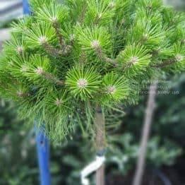 Сосна густоцветковий Лоу Глоу (Pinus densiflora Low Glow) ФОТО Розплідник рослин Природа (1)