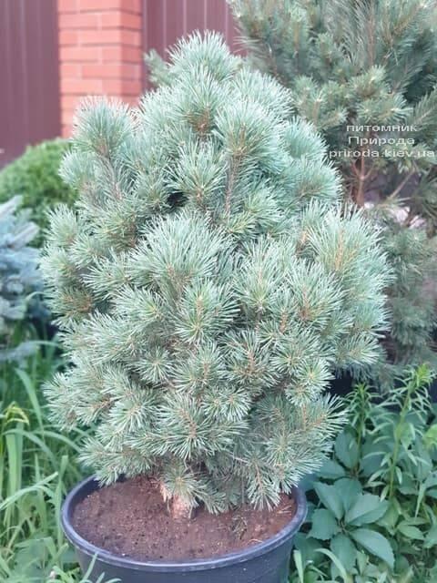 Сосна обыкновенная Ватерери (Pinus sylvestris Watereri) ФОТО Питомник растений Природа (2)