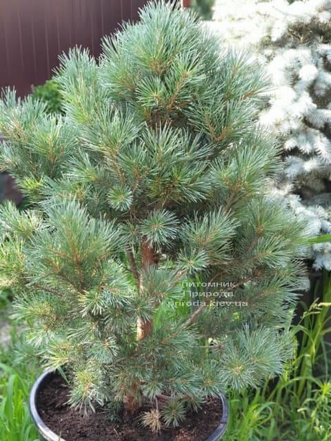 Сосна обыкновенная Ватерери (Pinus sylvestris Watereri) ФОТО Питомник растений Природа (4)