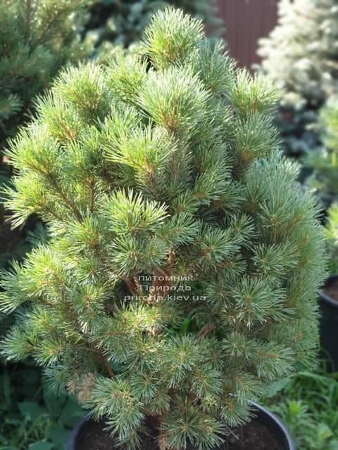 Сосна обыкновенная Ватерери (Pinus sylvestris Watereri) ФОТО Питомник растений Природа (5)