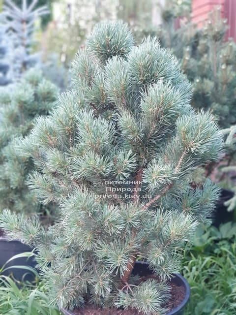 Сосна обыкновенная Ватерери (Pinus sylvestris Watereri) ФОТО Питомник растений Природа (6)